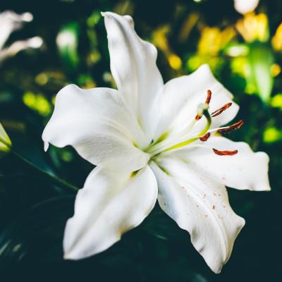 Lilie Weiß